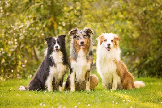 Collie Trio by KiwiTakeFlight