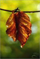 Red Leaf 6  from the Autumn Leaf Series by AStoKo