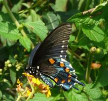 Pipevine..Swallowtail..,. by duggiehoo