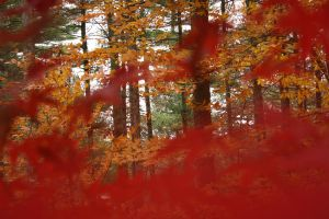Red Maple 7 by Aquiose