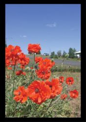 Poppies by Molly561