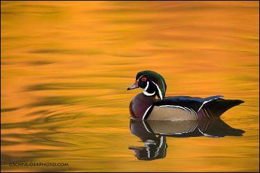 Wood duck reflections by gregster09