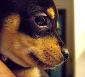 Chihuahua Puppy Close Up by Guardfather