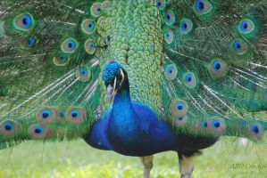 Peacock by ABDCrochet