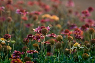 Gaillardia Filed by Brightsmile-didi