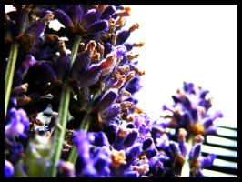 Some more Lavender by Cazilu