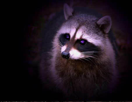 Lost Racoon by hyperwittlebunny