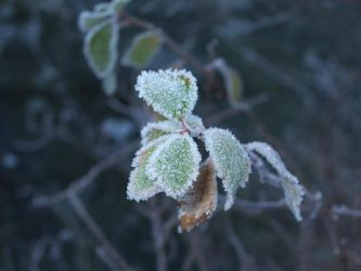Frosted leaves by 2of3