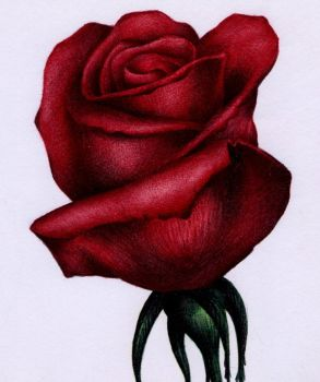 Red Rose Sketch - Bic Ballpoint Pen by VianaArts