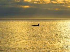 Killer Whale Past Sunset by wolfwings1