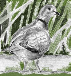 Collared dove by KateHodges