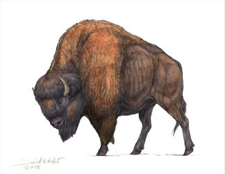 American plains bison by Gredinia