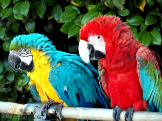 Blue and gold  macaw + red and green Macaw by carlbert