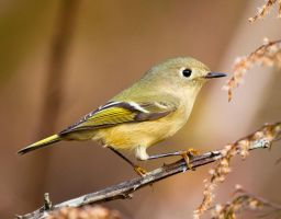 Ruby-crowned Kinglet by deseonocturno