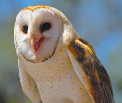Happy Barn Owl by WilliamJCovello