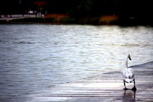 Swan on jetty by LoveForDetails