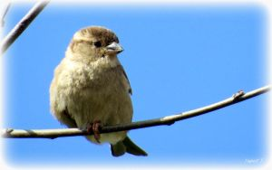 House sparrow (Passer domesticus) by Hubert11