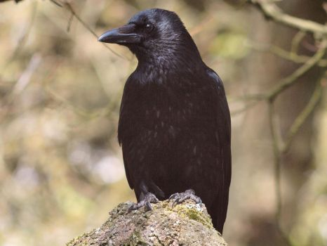 Corvus Corax or Common Raven 5 by pagan-live-style