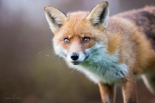 Red Fox by StephiPhotography