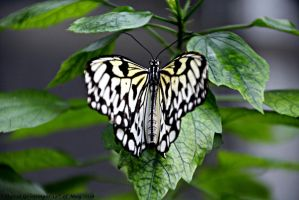 Marbled White Butterfly by DavidGrieninger
