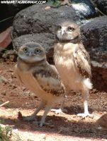 Burrowing Owls by ursulav