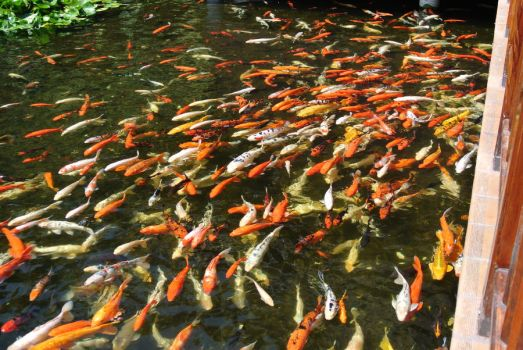 Gathering of Koi by Nightly-Creature