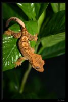 Crested Gecko by BPFischer