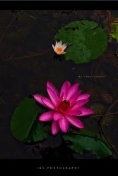 water lily by ibsenx