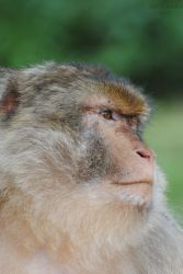 Barbary macaque (Magot) by ABDCrochet