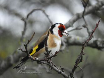 Chardonneret Elegant / European Goldfinch by LePtitSuisse1912