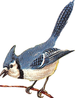 Blue Jay (stock) by linux-rules