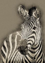 Zebra by Globaludodesign