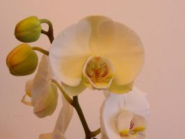 White Orchid by bafel