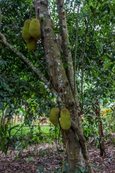 Jackfruit by rbnsncrs
