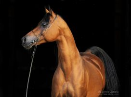 Angleter from Tersk studfarm by Vikarus