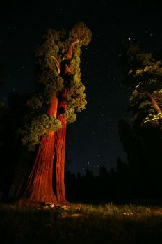 Midnight Sequoia by dogeatdog5