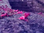 petals of flowers on a stone by Abios77