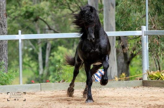 Friesian Stallion stock 14 by xxMysteryStockxx