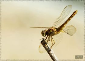 Yellow Dragon Fly by iwoth