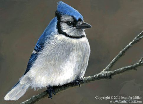 Winter Blues - Bluejay by Nambroth