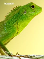P4188062_Green Crested Lizard by jitspics