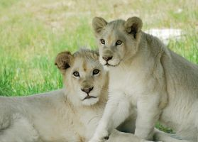 White Lions by Belsebumsan