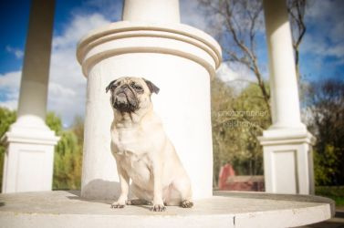 Pug by Kelshray-photo