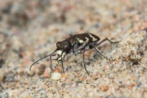 Northern Dune Tiger Beetle (Cicindela hybrida) by Azph