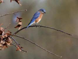 Pretty Little Blue Bird by JAHarrell