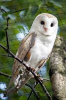 Barn owl on branch by EuphoricMind