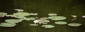 Waterlilies 1 by HaleyGottardo