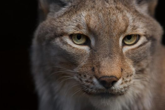 Lynx by LifeCapturedPhoto