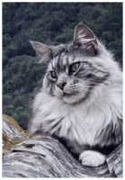 ...My maine coon.. by Flore-stock