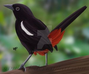 Indian Robin by sam241